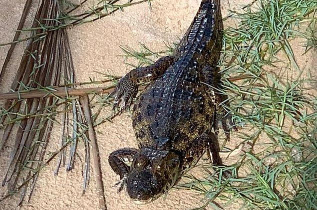Jacaré da espécie papo-amarelo é capturado na praia de Jatiúca
