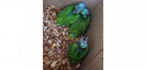 Polícia apreende 121 pássaros silvestres em cativeiro no Clima Bom; suspeito agride com soco policial do BPA