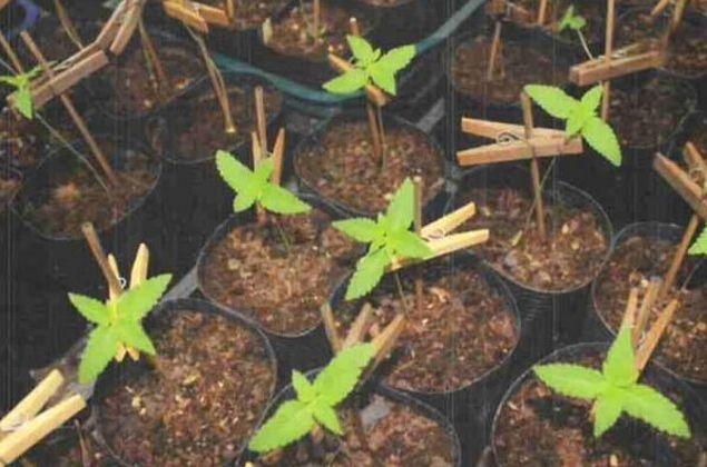 Justiça mantém presos delegado e família flagrados com plantação de maconha