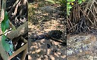 Manchas de óleo chegam ao manguezal do Rio Pojuca, na Bahia