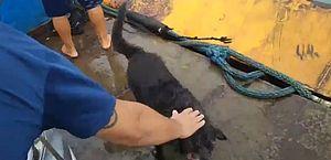 Vídeo: cachorro é salvo por funcionário de balsa em Ilhabela