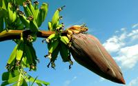 Software é desenvolvido para elevar produtividade da cultura da banana no Ceará