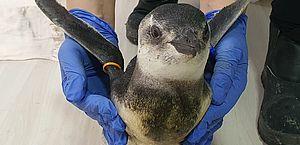 Começa temporada 2021 de pinguins na costa das regiões Sul e Sudeste