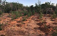 Polícia destrói plantação com mais de 2 mil pés de maconha no Sertão de AL