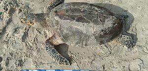 Tartaruga monitorada pelo projeto Tamar é encontrada morta na Praia da Avenida