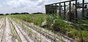 Alagoas tem maior safra de cana-de-açúcar dos últimos quatro anos, diz IBGE