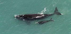 Baleia-franca nascida no Brasil é vista nas Ilhas Geórgia do Sul