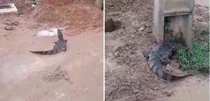 Vídeo: moradores encontram mais um jacaré em área urbana de Coruripe