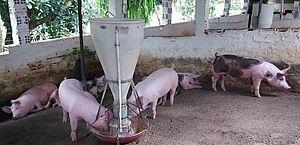 Peste Suína: Adeal trabalha evitar a disseminação do vírus e reduzir as perdas