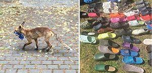 'Roubava' na noite: morador flagra raposa sumindo com sapatos de vizinhos