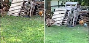 Alerta de fofura: 'pega-pega' entre galinha e cachorro viraliza nas redes; veja
