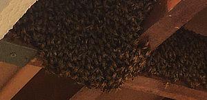 Vídeo: enxame de abelhas invade condomínio em Marechal e assusta moradores