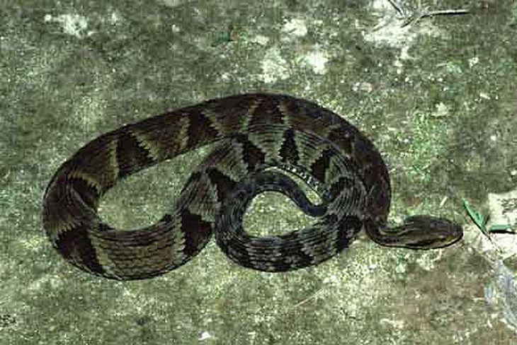 Picada por serpentes da espécie jararaca é a mais comum em Alagoas