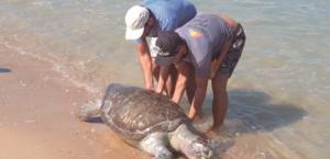 23 tartarugas são encontradas mortas no Ceará desde setembro