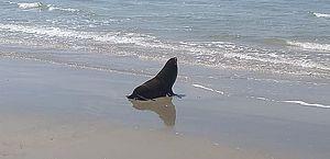 Projeto da Petrobras resgata 154 lobos-marinhos no litoral brasileiro