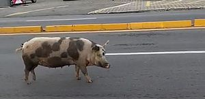 Vídeo: porco passeia pela avenida na orla de Jatiúca, em Maceió