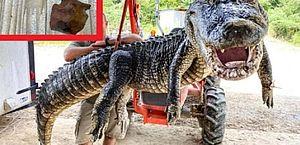 EUA: crocodilo de 5 metros tinha dois objetos históricos na barriga