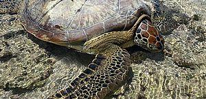 Vídeo: após maré baixa, tartaruga fica presa em piscinas naturais, em Ponta Verde