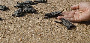 Pesca, plástico, aquecimento global e óleo são ameaças para tartarugas