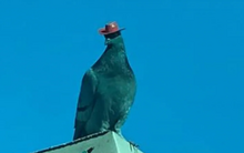 Pombos em Las Vegas estão surgindo com chapéus de cowboy colados na cabeça