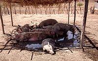 Ministério da Agricultura chega a AL após sacrifício de 32 porcos com peste suína
