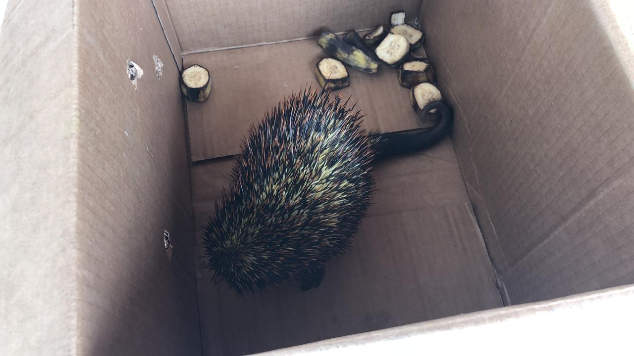 Animal foi colocado em uma caixa, onde espera a chegada do Batalhão Ambiental